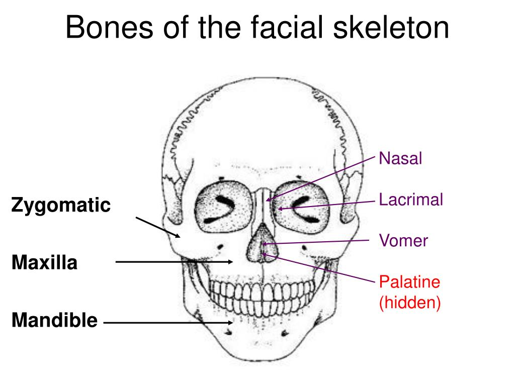 palatine bone diagram
