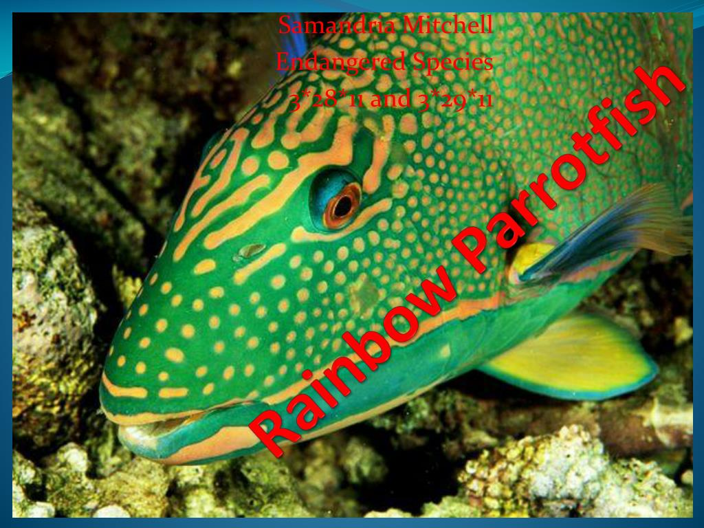 Ppt rainbow parrotfish powerpoint presentation id 302280 for Rainbow parrot fish