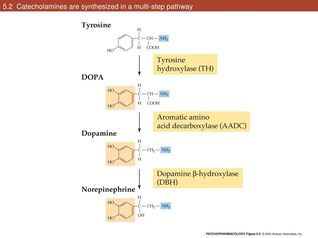 5.2  Catecholamines are synthesized in a multi-step pathway