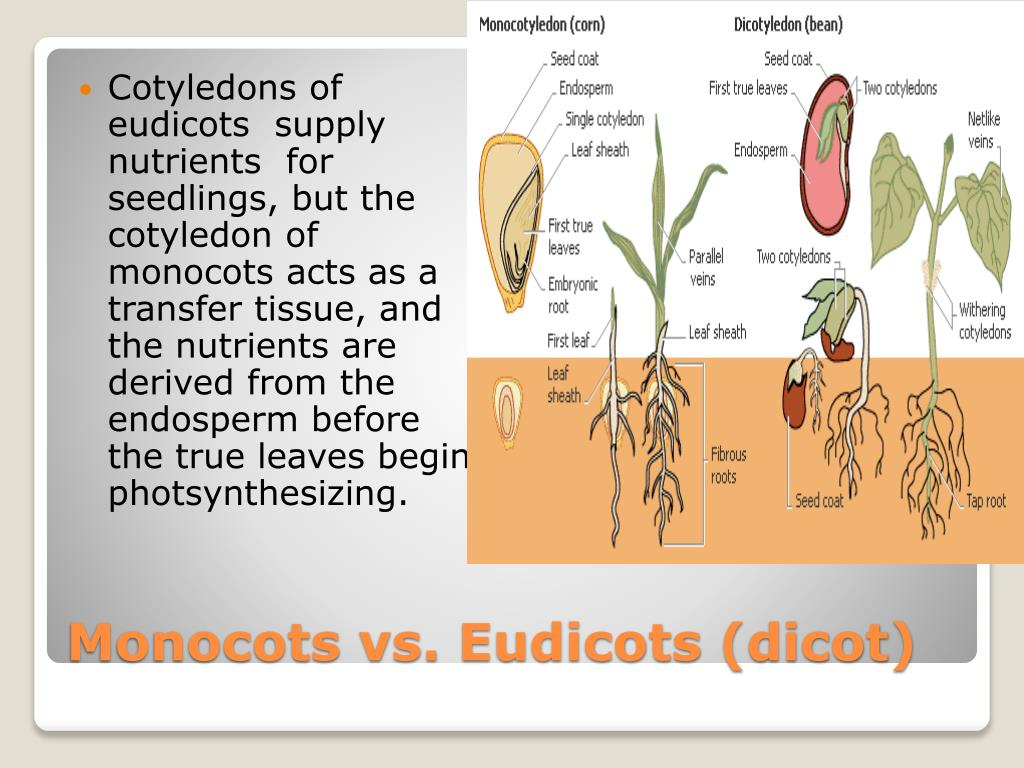 Cotyledons of