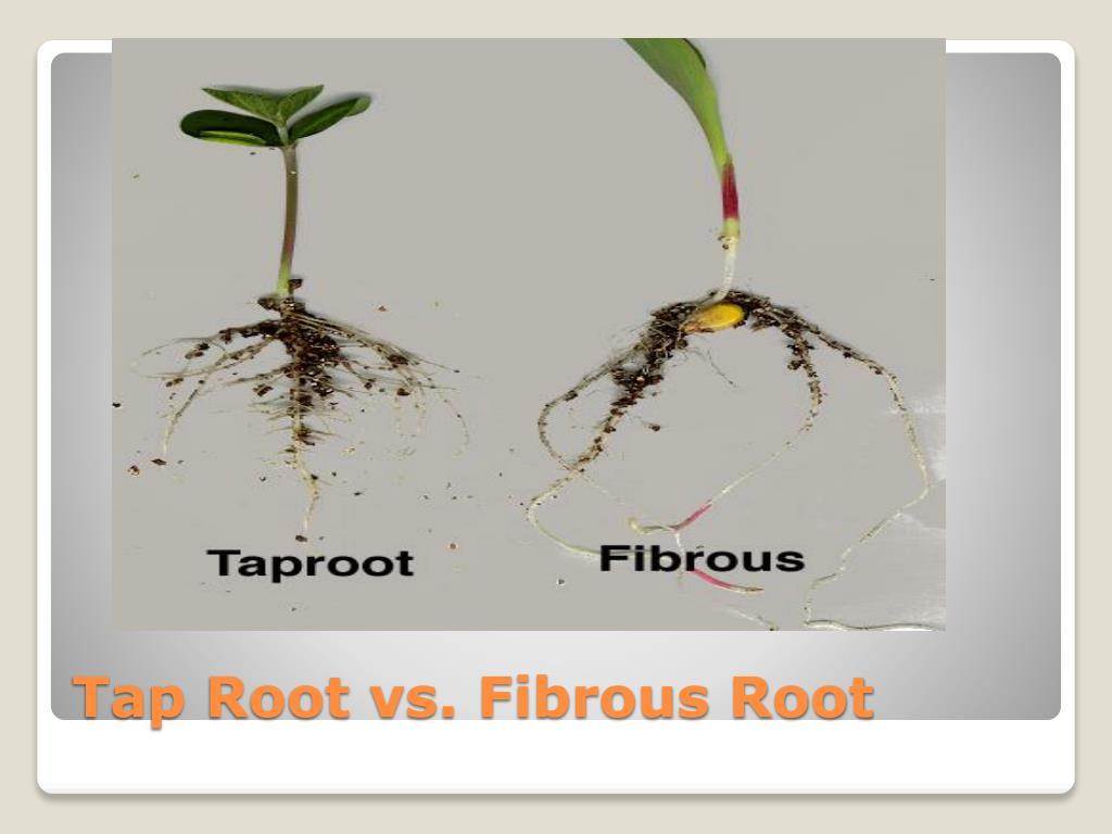 Tap Root vs. Fibrous Root