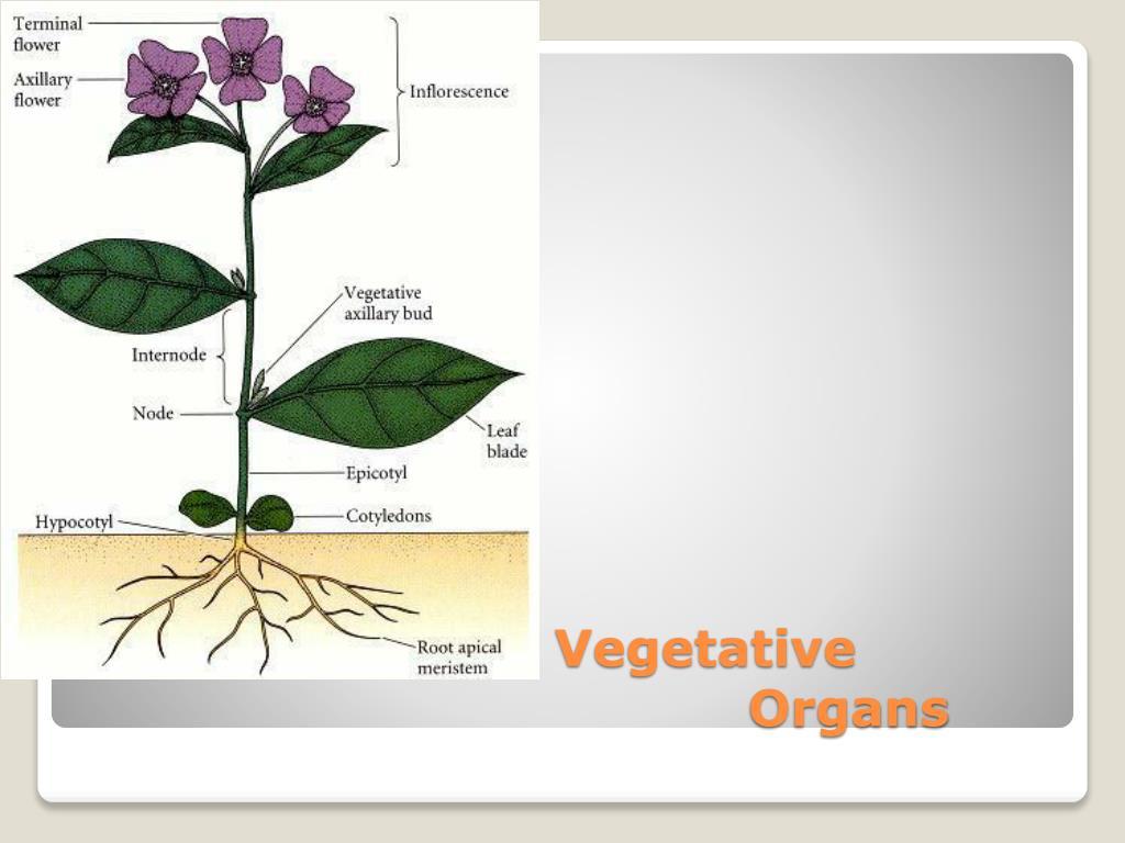 Vegetative Organs
