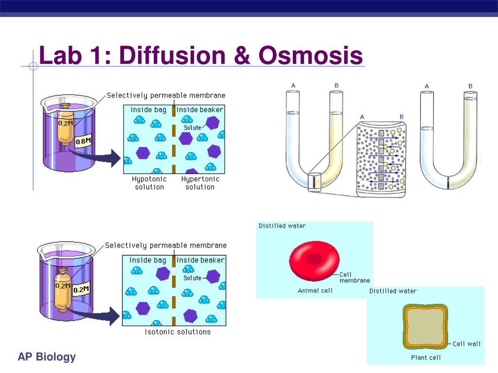 ap bio diffusion essay diffusion and osmosis lab introduction: 1) the relationship between the rate of diffusion, volume and surface area is that the surface area of a subject somewhat correlates with the volume of the object.