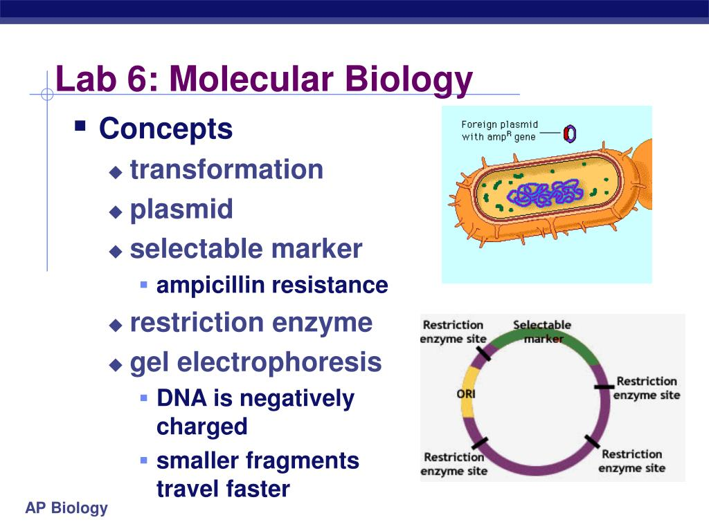 bacterial transformation plasmid isolation restriction digest biology essay Section 71 dna cloning with plasmid vectors the phenomenon of transformation permits plasmid vectors to be restriction enzymes are bacterial enzymes that.