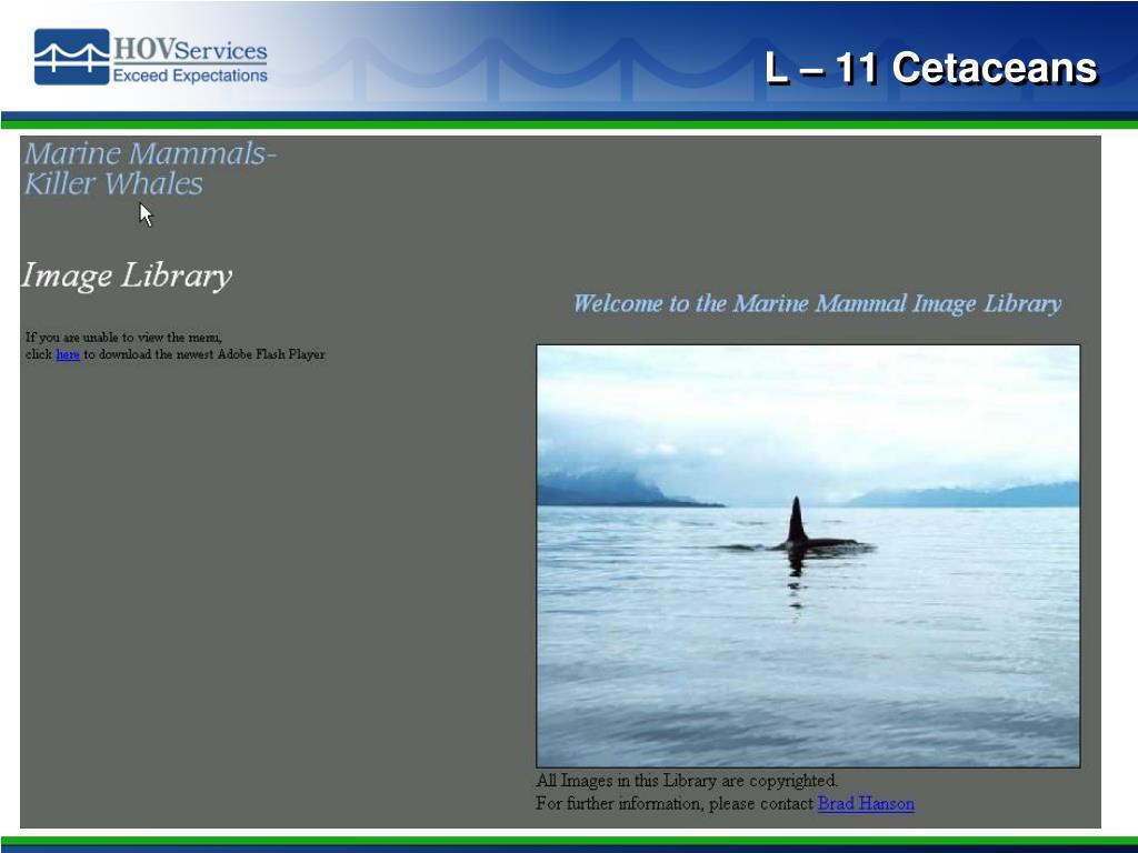 L – 11 Cetaceans