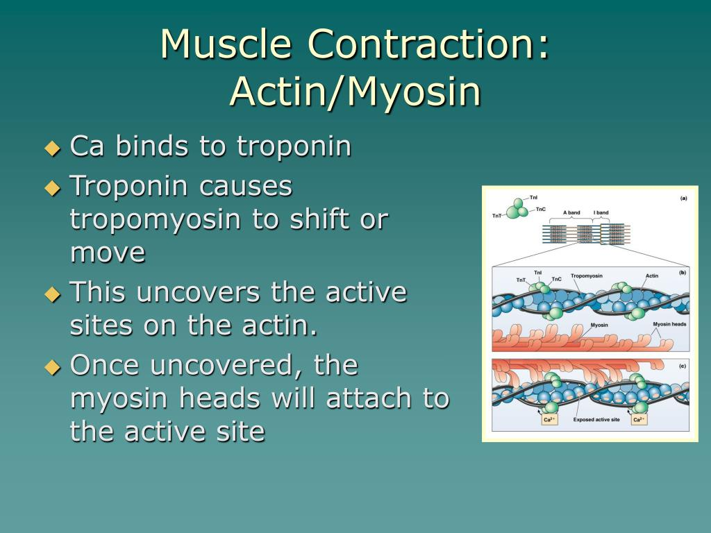 Muscle Contraction: Actin/Myosin