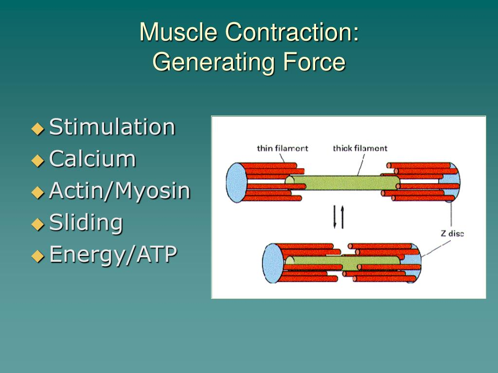 Muscle Contraction: