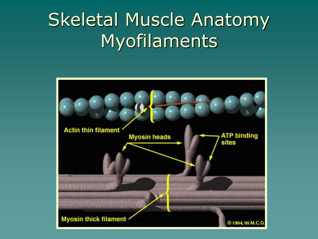 Skeletal Muscle Anatomy Myofilaments