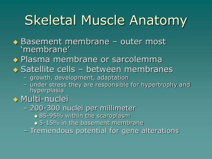 Skeletal muscle anatomy3