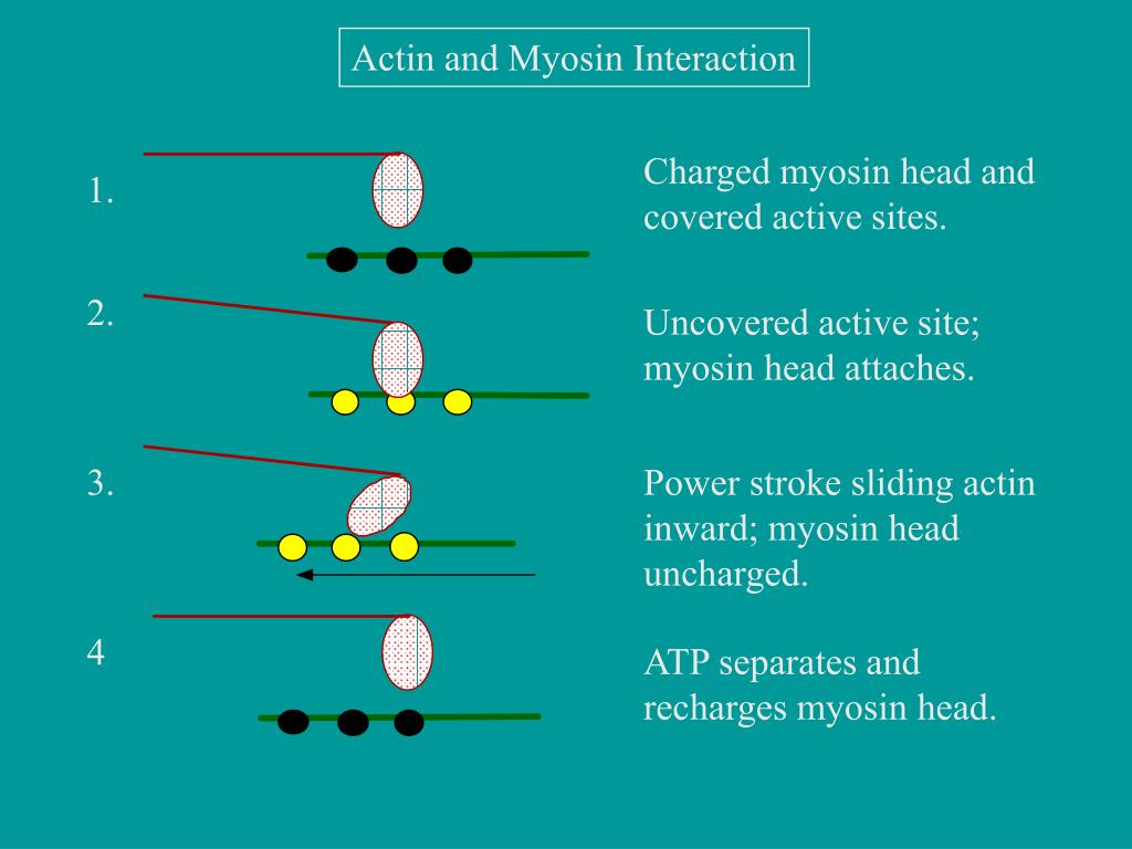 Actin and Myosin Interaction