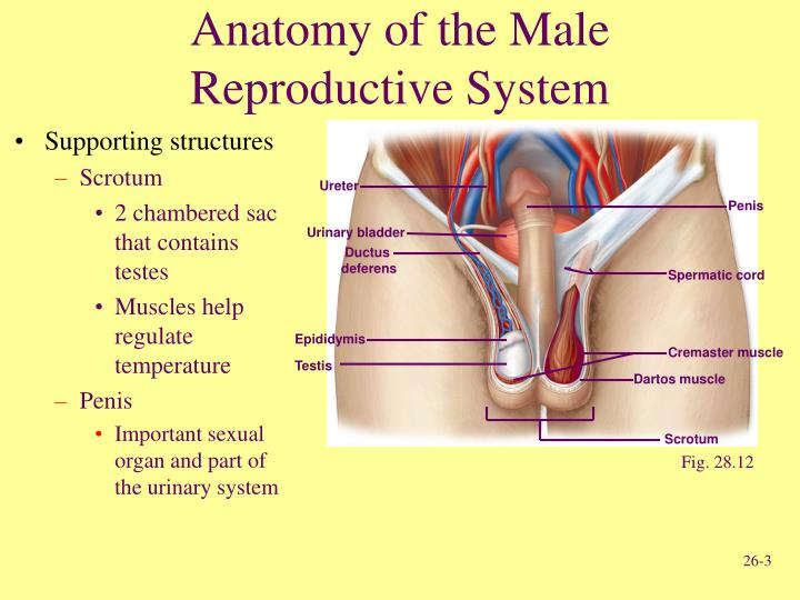 Anatomy of the male reproductive system3