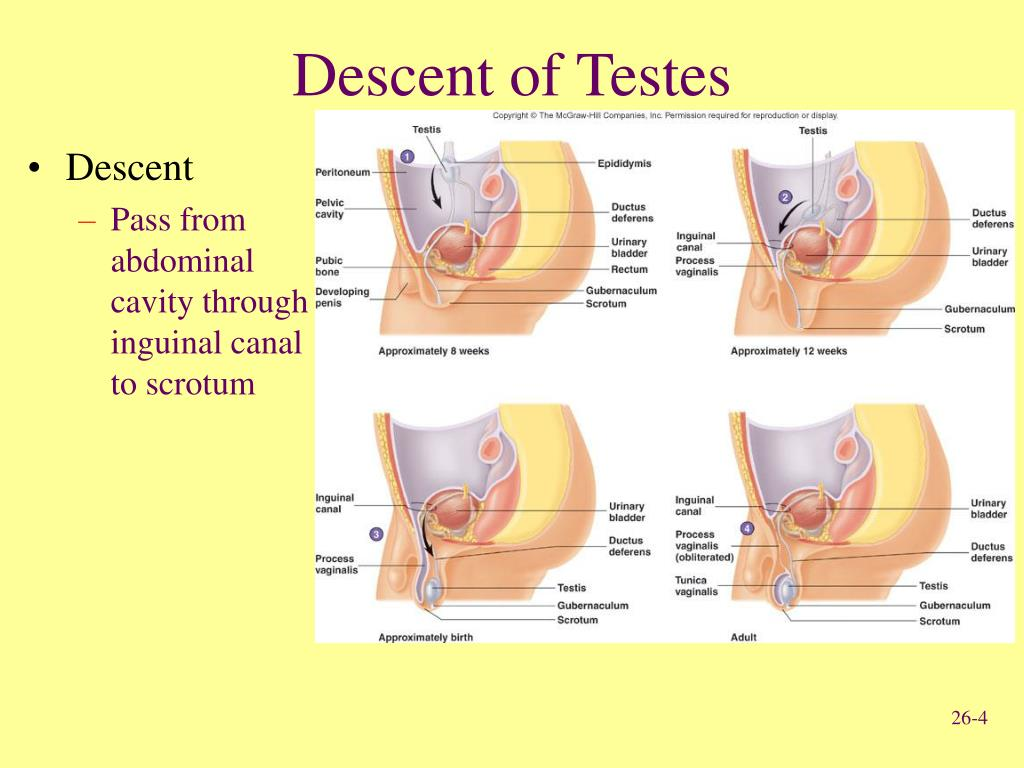 Descent of Testes