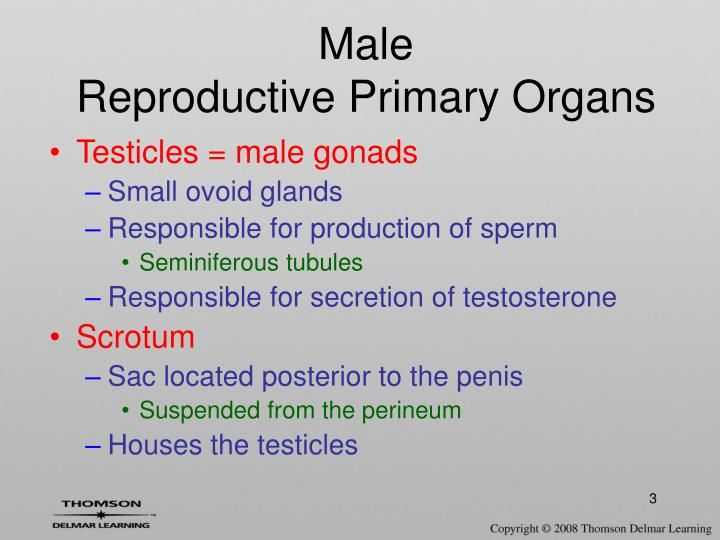 Male reproductive primary organs l.jpg