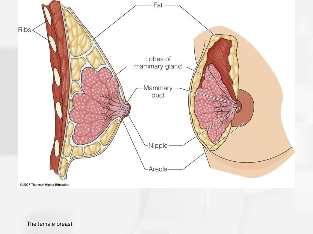 The female breast.