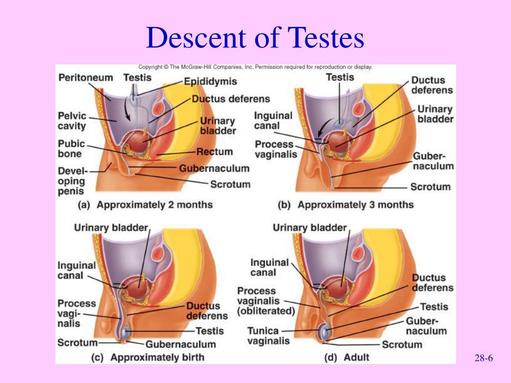 Descent of Testes
