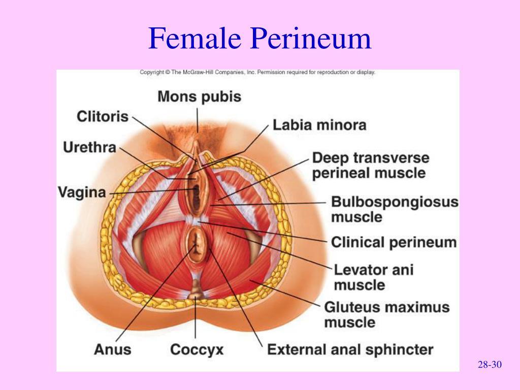 Female Perineum