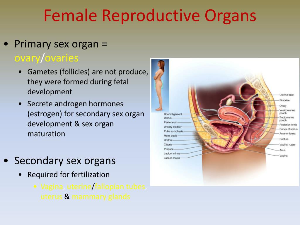 Development Of Sex Organs 102