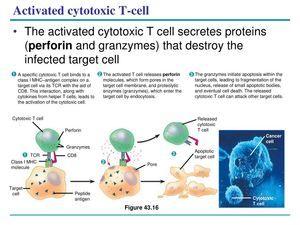 The granzymes initiate apoptosis within the