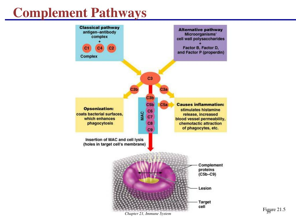 Complement Pathways