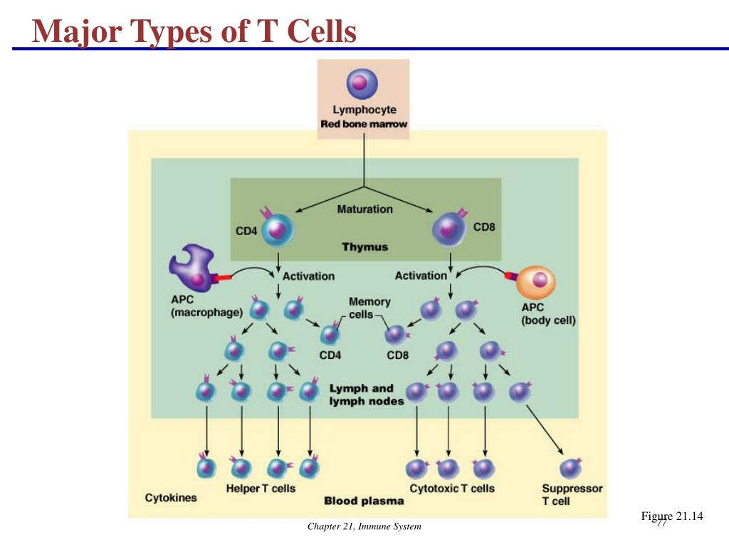 Major Types of T Cells