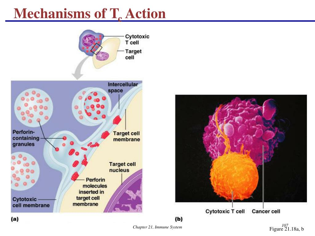 Mechanisms of T