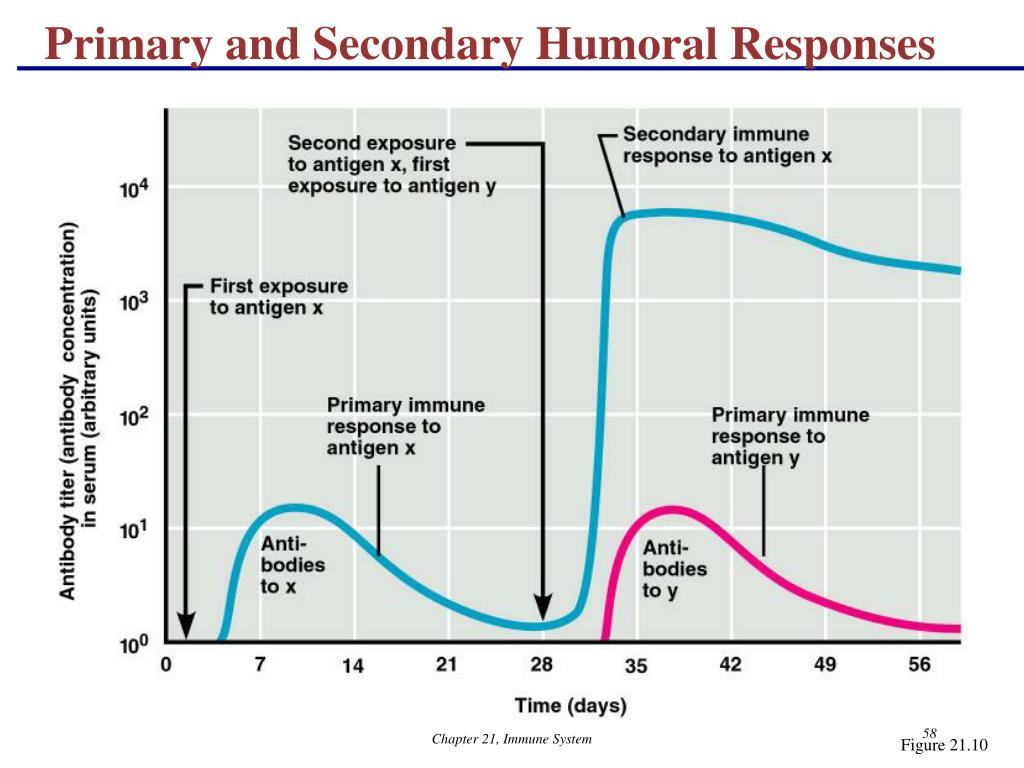 Primary and Secondary Humoral Responses