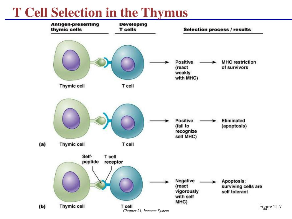 T Cell Selection in the Thymus