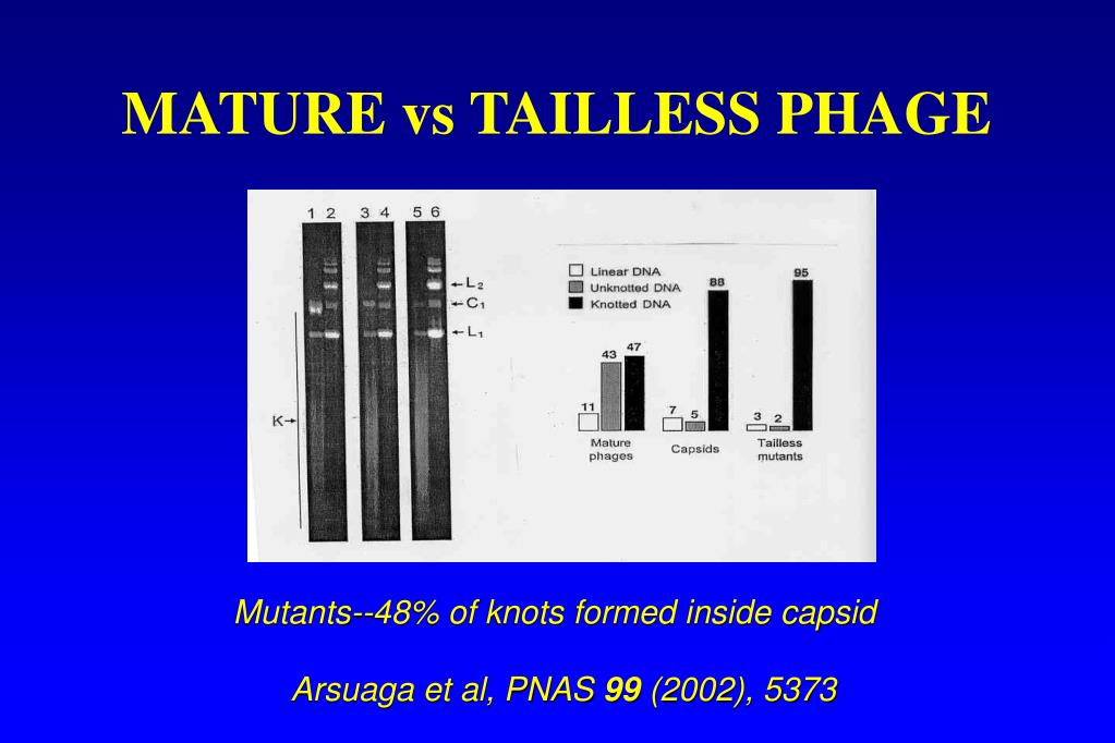 MATURE vs TAILLESS PHAGE