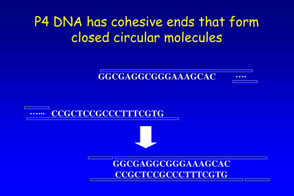 P4 DNA has cohesive ends that form closed circular molecules