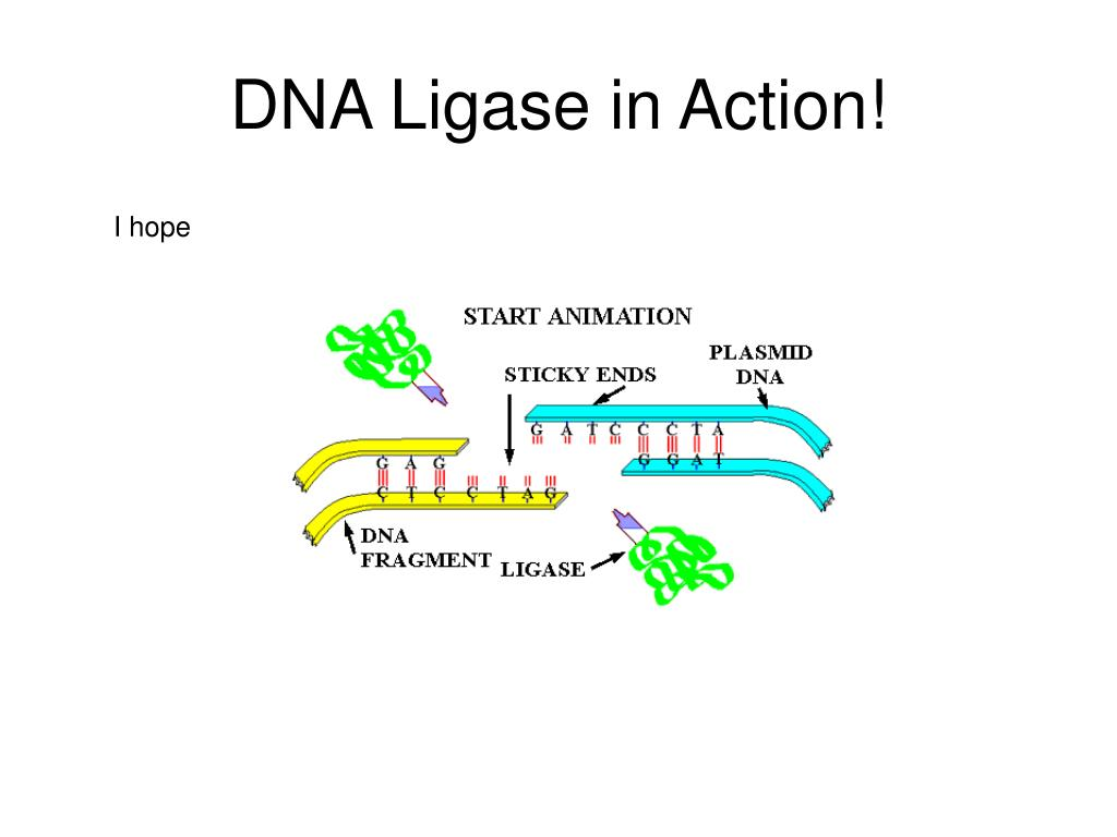 DNA Ligase in Action!