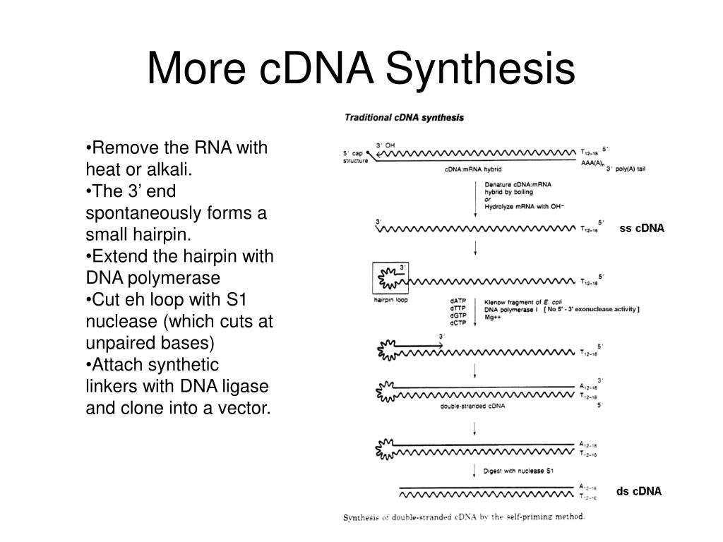 More cDNA Synthesis