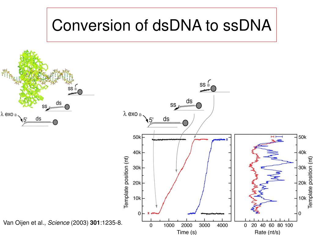 Conversion of dsDNA to ssDNA