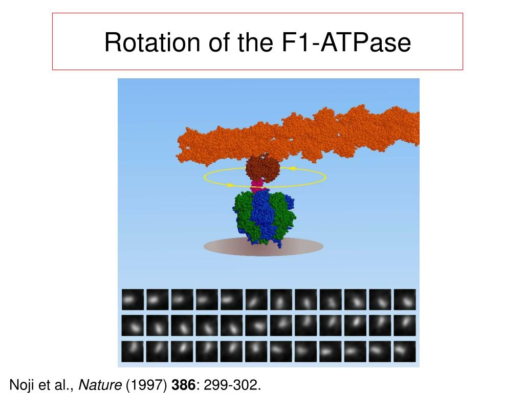 Rotation of the F1-ATPase