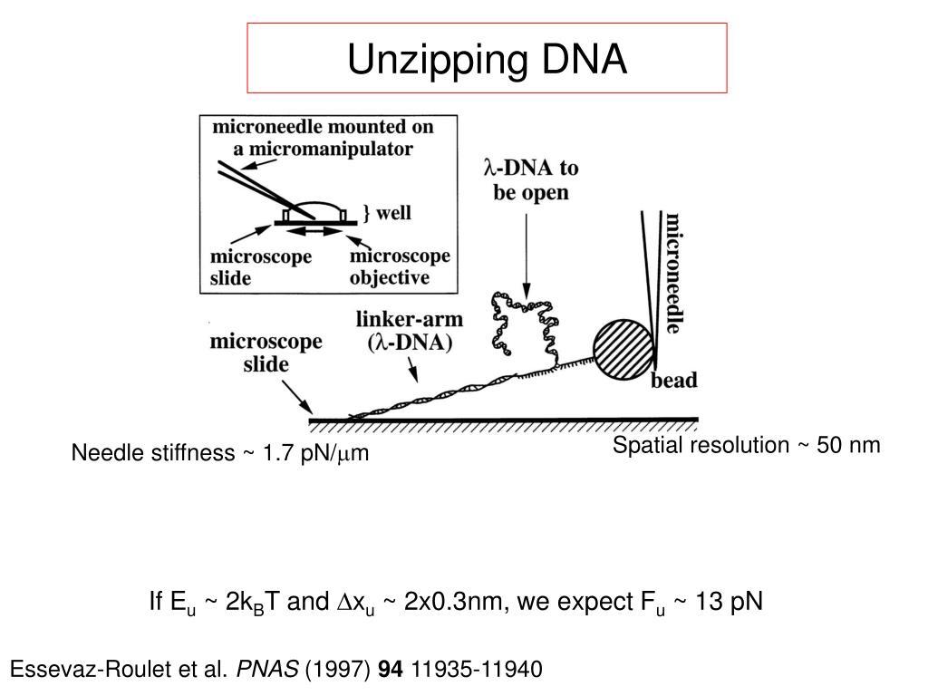 Unzipping DNA