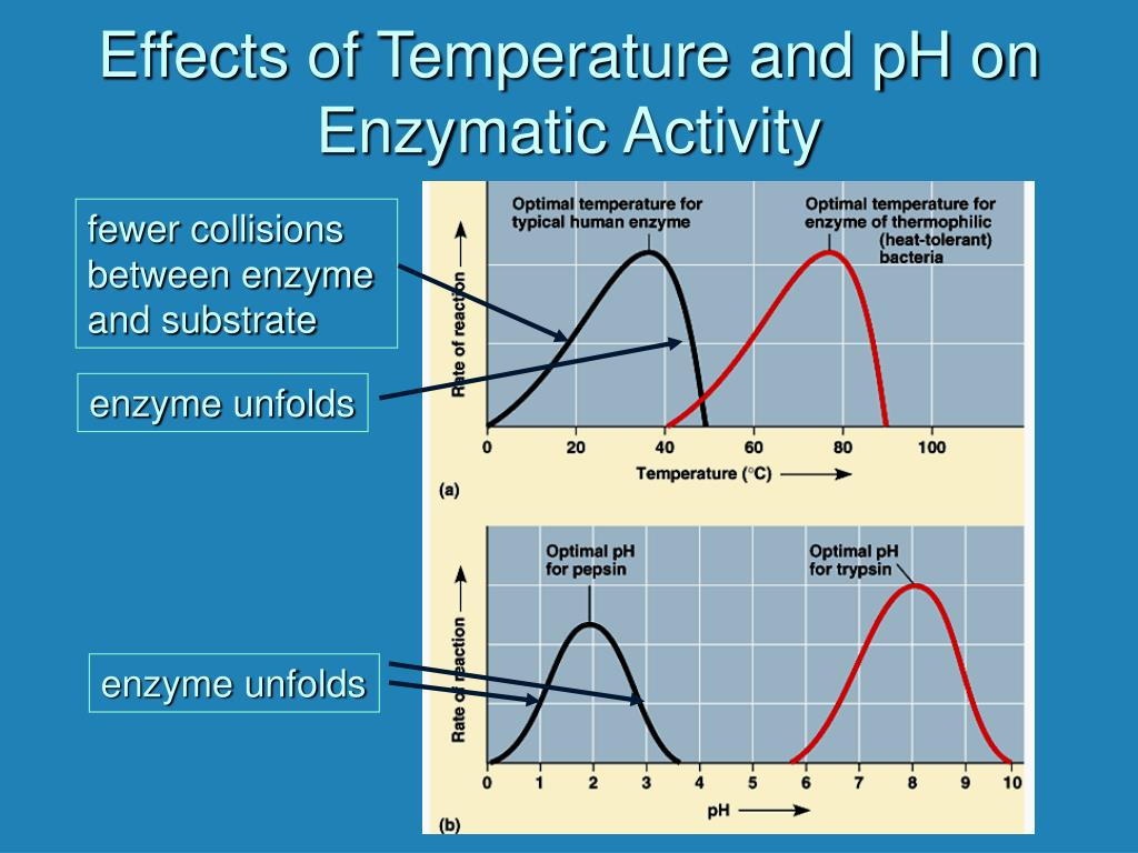 effect of temperature on enzymes coursework Here is an example of a-level biology coursework on the effect of substrate concentration (hydrogen peroxide) on the rate of activity of the enzyme catalase.