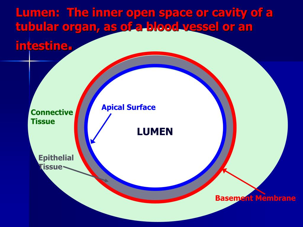 Lumen:  The inner open space or cavity of a tubular organ, as of a blood vessel or an intestine