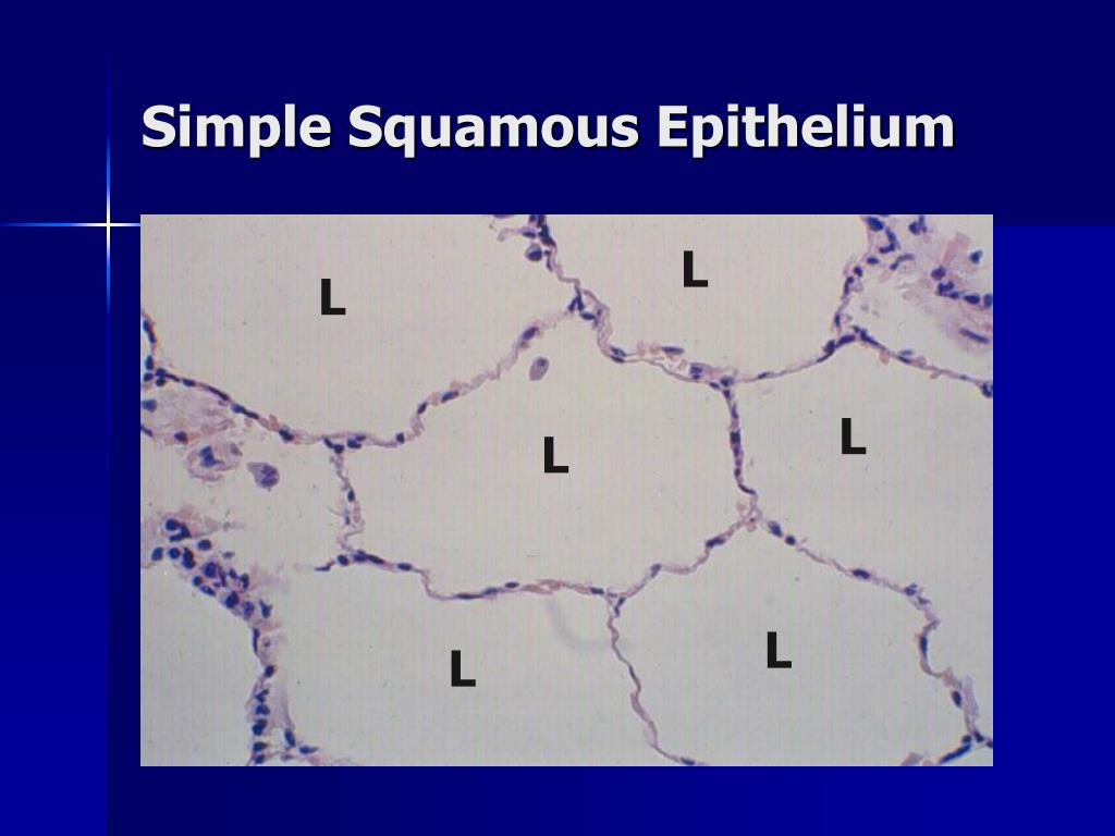 PPT - Lab Exercise Classification of Tissues: Epithelial ...