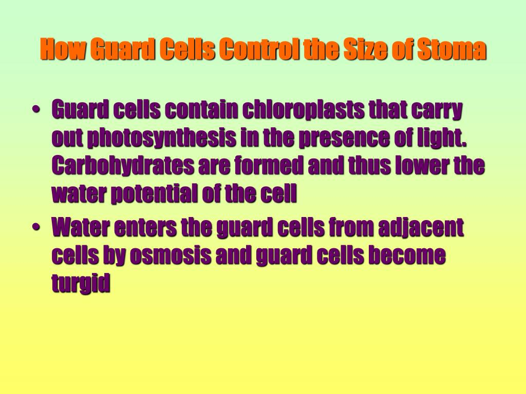 How Guard Cells Control the Size of Stoma