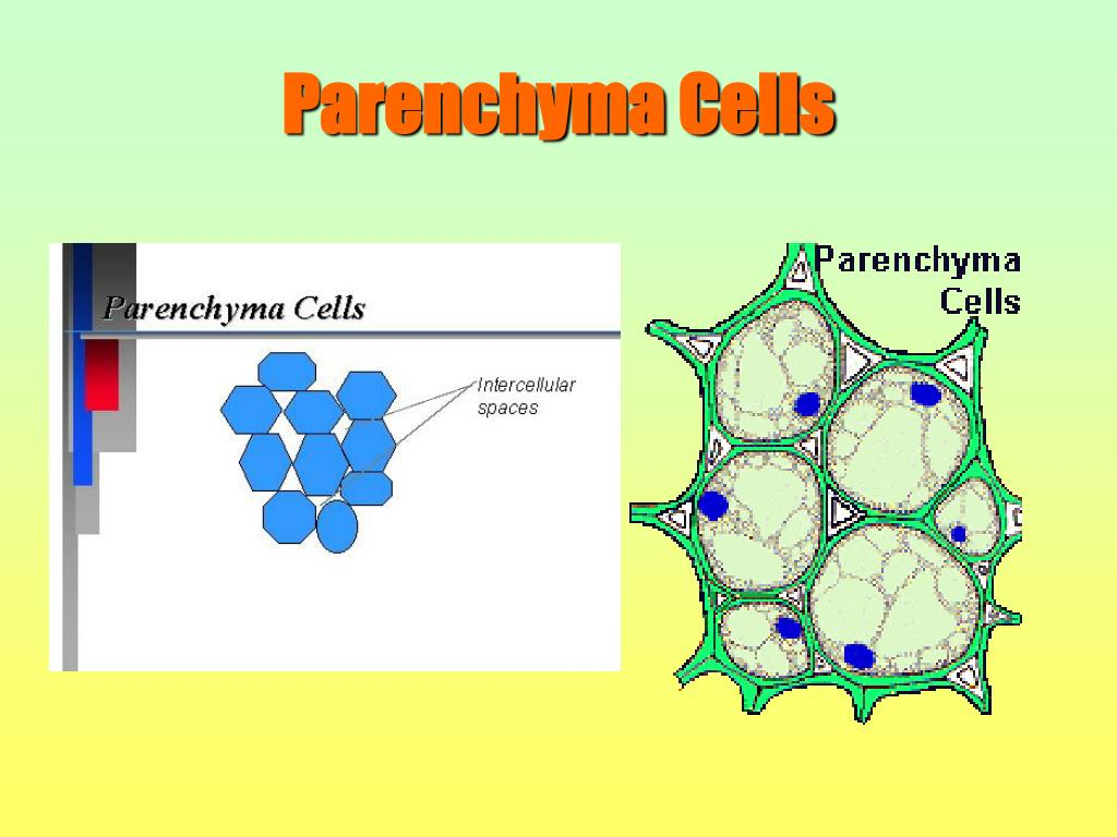 Parenchyma Cells