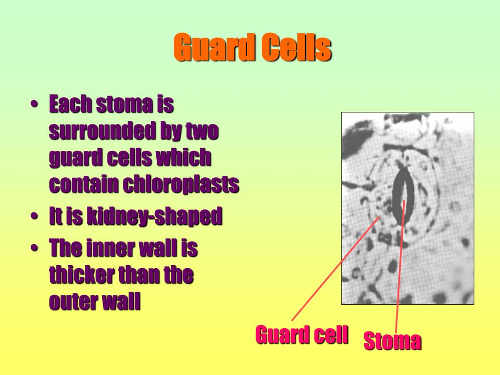 Each stoma is surrounded by two guard cells which contain chloroplasts