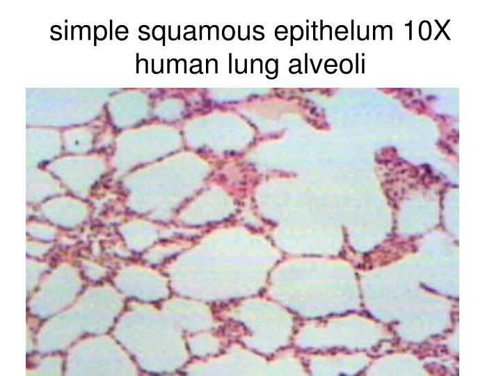 PPT - Epithelial Tissues PowerPoint Presentation - ID:308349