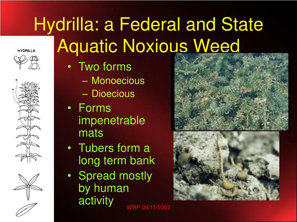 Hydrilla: a Federal and State Aquatic Noxious Weed