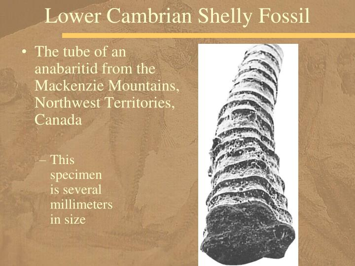 Lower Cambrian Shelly Fossil