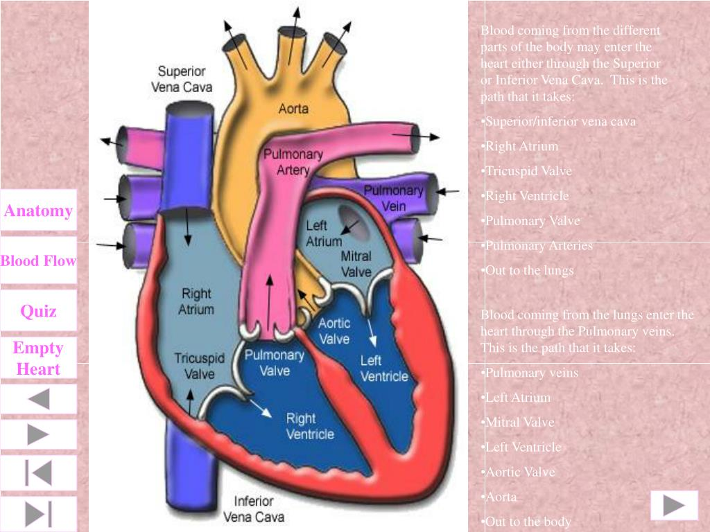 Blood coming from the different parts of the body may enter the heart either through the Superior or Inferior Vena Cava.  This is the path that it takes:
