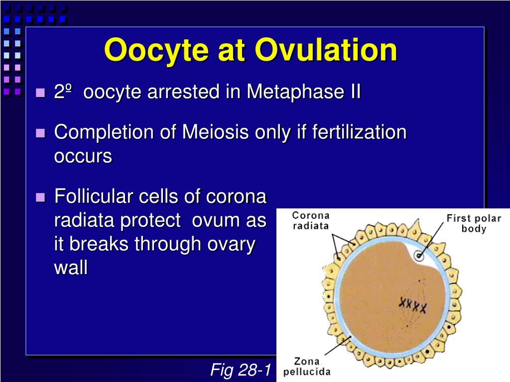 Oocyte at Ovulation