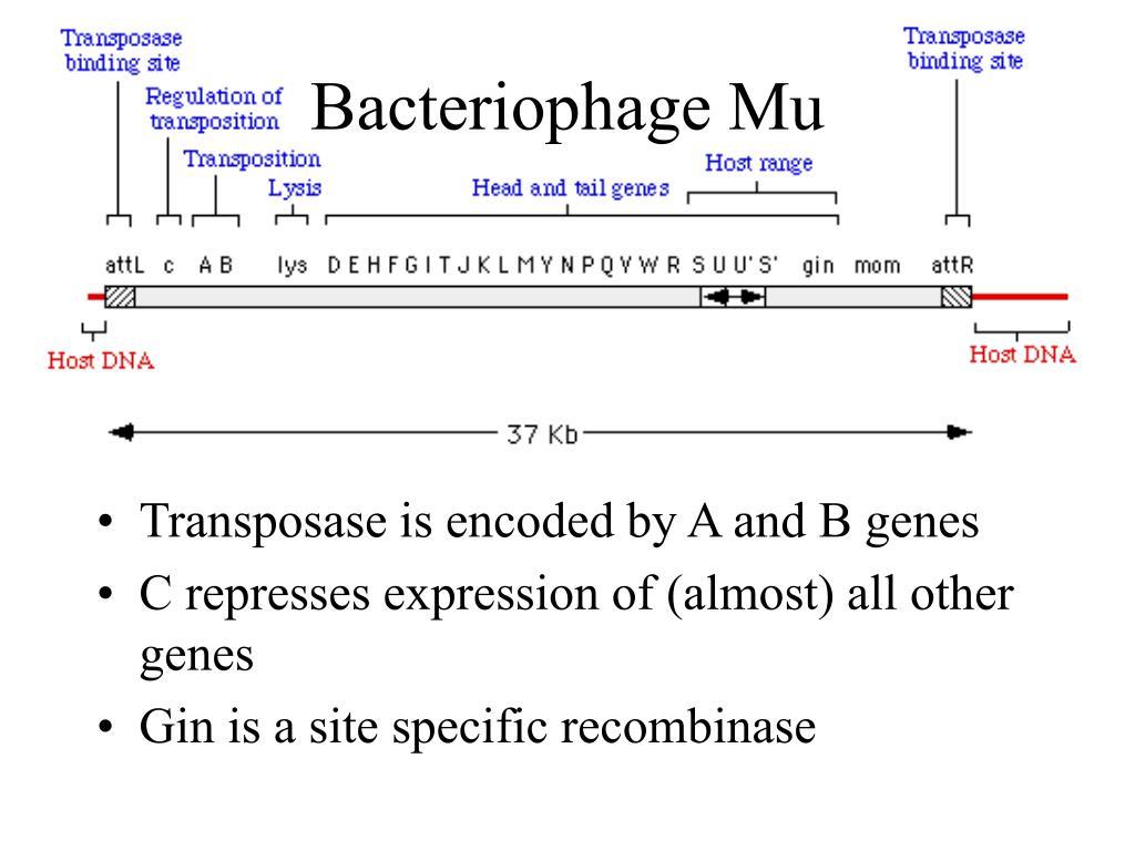 Bacteriophage Mu