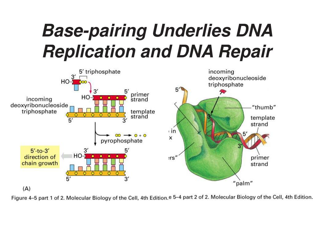 Base-pairing Underlies DNA Replication and DNA Repair