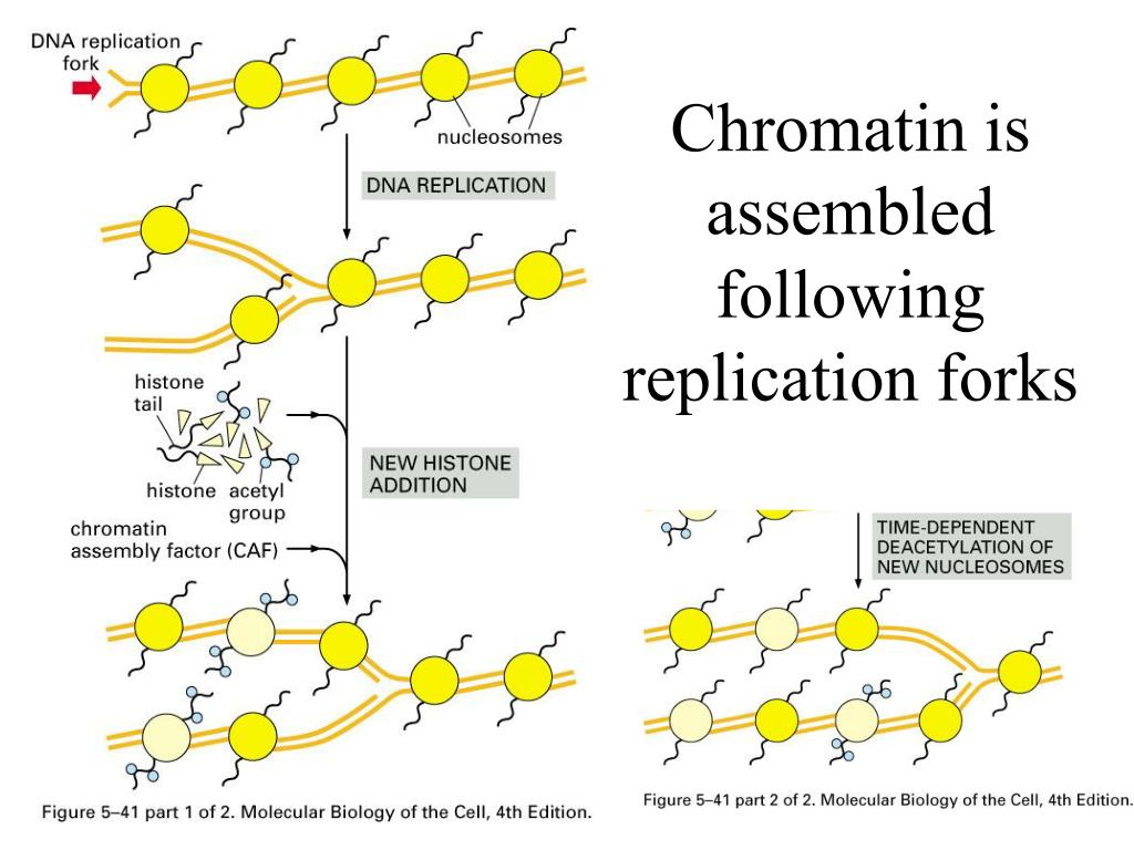 Chromatin is assembled following replication forks