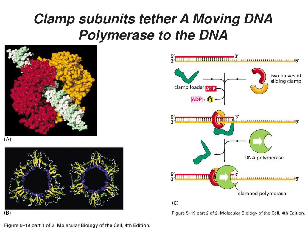 Clamp subunits tether A Moving DNA Polymerase to the DNA