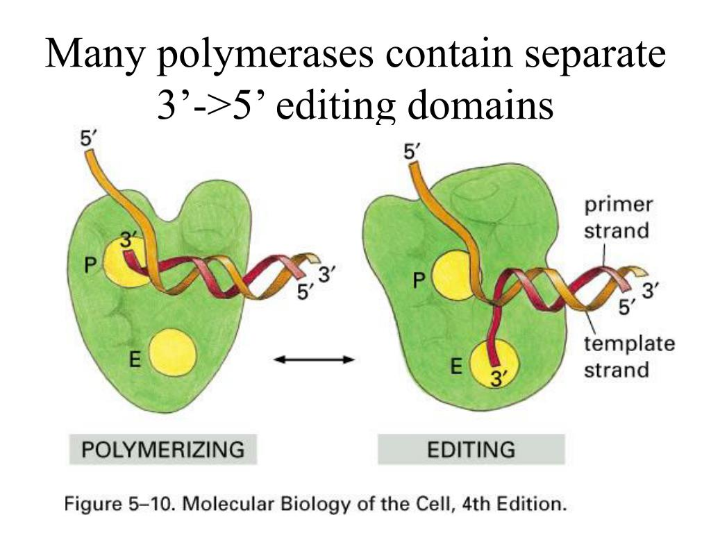 Many polymerases contain separate 3'->5' editing domains